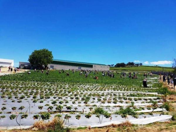 city-girl-vibe-strawberry-picking-farm